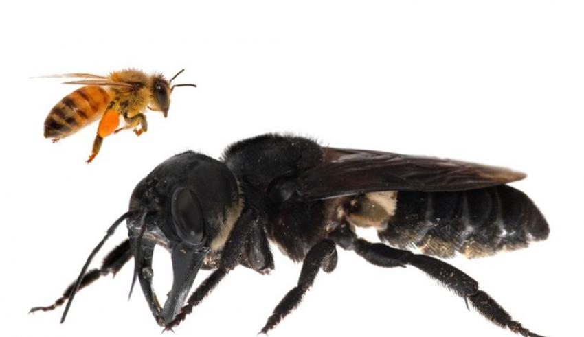 La plus grosse abeille du monde retrouvée en Indonésie Crédit : CLAY BOLT / Global Wildlife Conservation / AFP